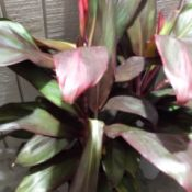 cream, pink, and green leafed plant