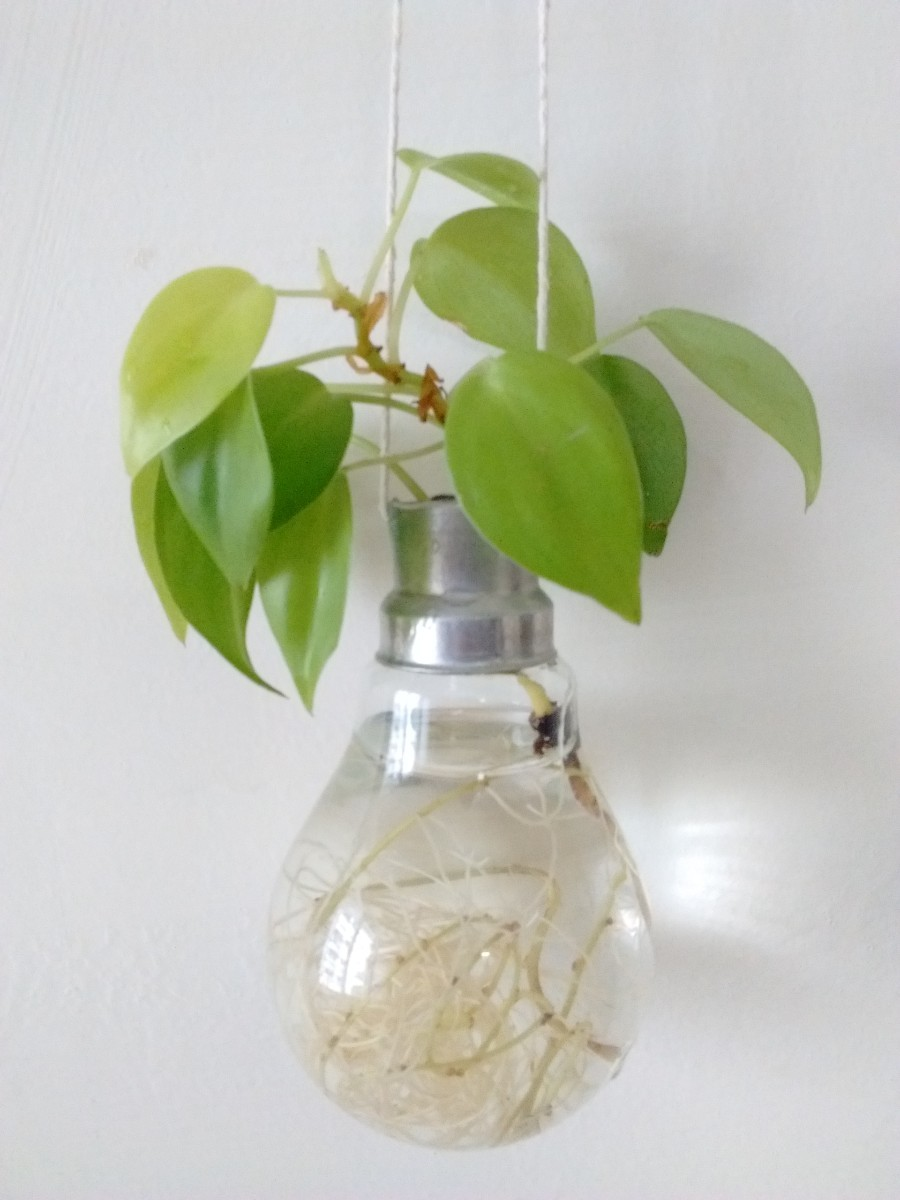 Money Plant In Bulb