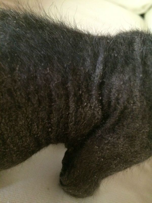 How to cure dry skin on cats