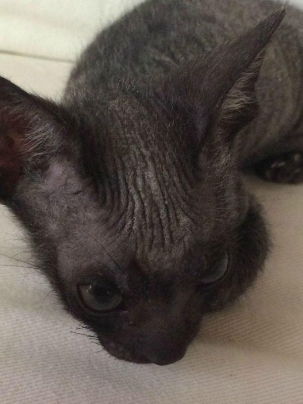 Safe flea removal for kittens