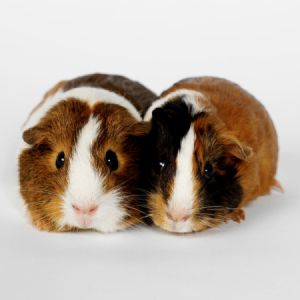 two tricolor guinea pigs