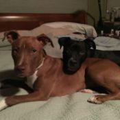 Leo and Lola (Pit Bull)