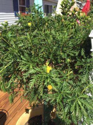 plant with yellow flowers and deeply cut leaves