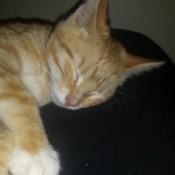 tan tabby cat