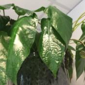 dark green leafed plant