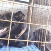 black dog in kennel