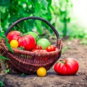 A basket of homegrown tomatoes