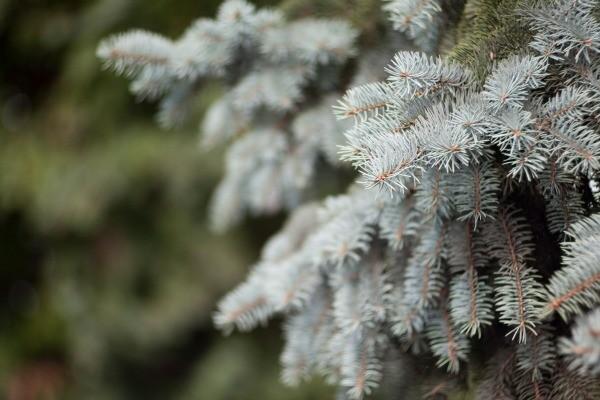 Pruning A Blue Spruce Tree Thriftyfun