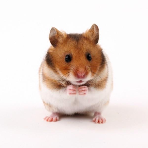 Hamster Photos | ThriftyFun