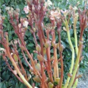 pink flowering plant with light green and reddish stems