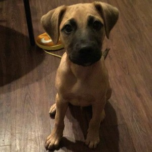 brown dog with dark muzzle