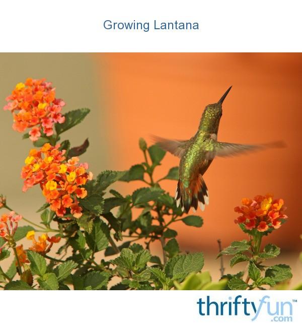 Growing Lantana Thriftyfun