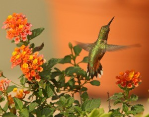 Rufus hummingbird and lantana