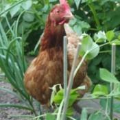 A chicken in a vegetable garden