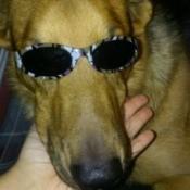 light brown dog wearing sunglasses