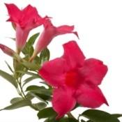 Red Flower Mandevilla