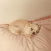 cream colored Chihuahua