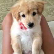 yellow and white puppy
