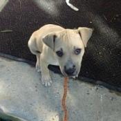 cream colored puppy