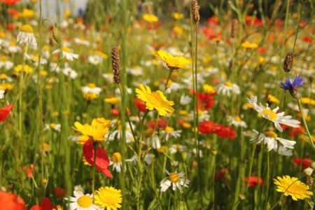 Growing Wildflowers
