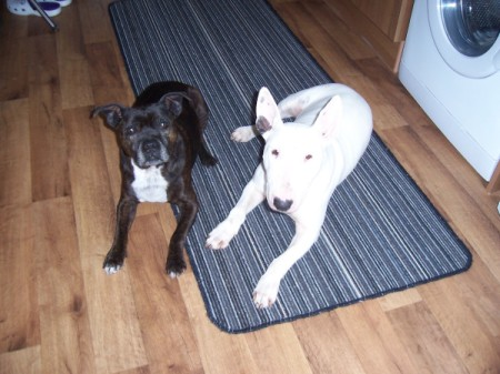 Staffie and Bull Terrier