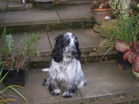 black and white Spaniel