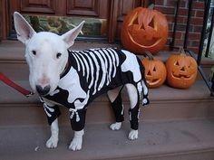 Bull Terrier in skeleton costume