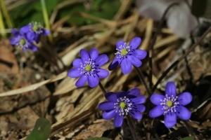 blue hepatica flowers