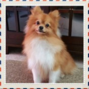 reddish brown and white Pom