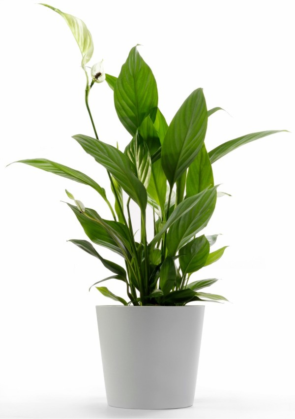 Peace lily not blooming thriftyfun for Plantas de interiores