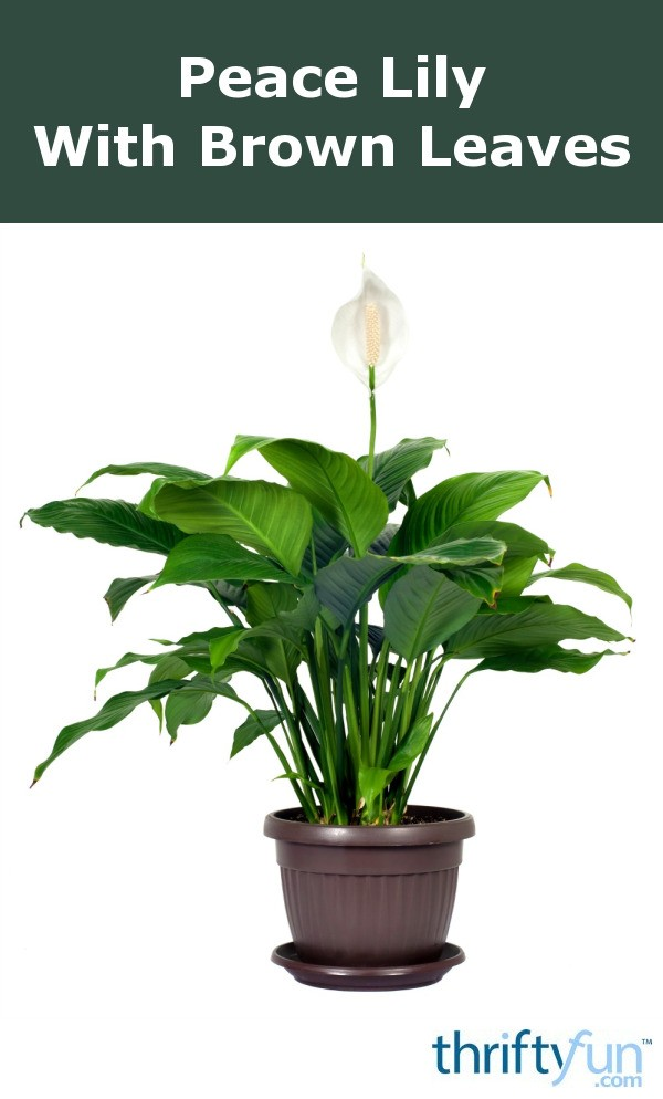 peace lily with brown leaves thriftyfun. Black Bedroom Furniture Sets. Home Design Ideas