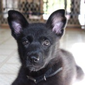 closeup of black puppy