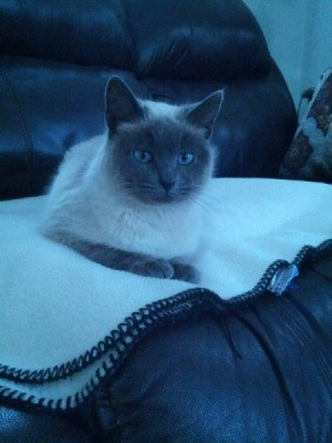 gray scale photo of Siamese cat