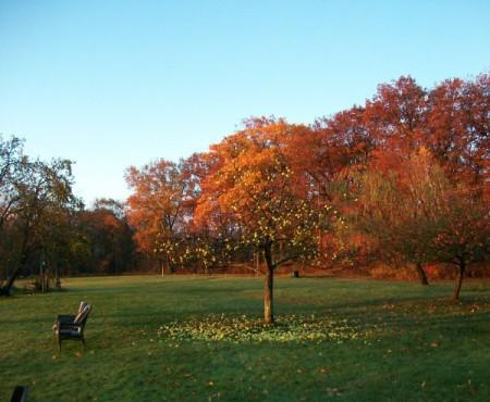 apples on ground beneath the tree