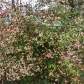 Growing a Strawberry Bush (Euonymus americana)