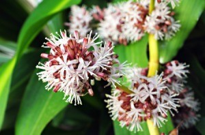 What is This Plant? (Dracaena Fragrans)