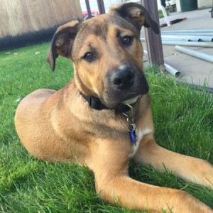 brown dog with dark markings
