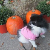 Lucy sitting next to pumpkins
