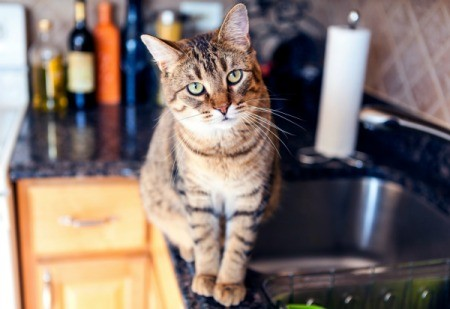 Cat walking on a kitchen counter.
