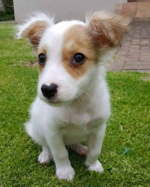 white and light brown puppy