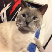Closeup of grey Siamese mix