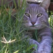 Rambo, gray tabby coloration, kitty in the grass