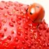 ladybug on strawberry
