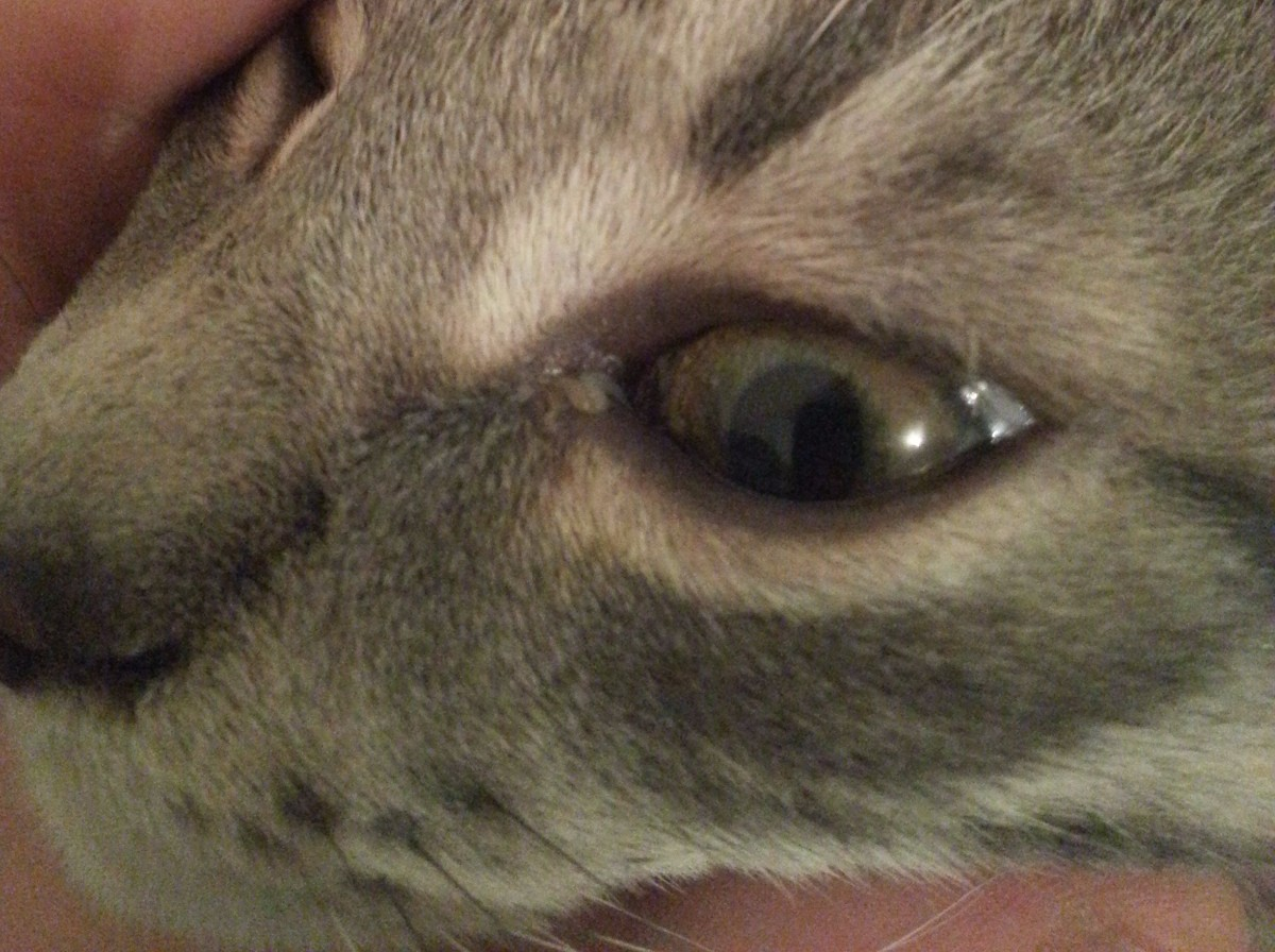 Cat Has Milky White Discharge From Eyes Thriftyfun