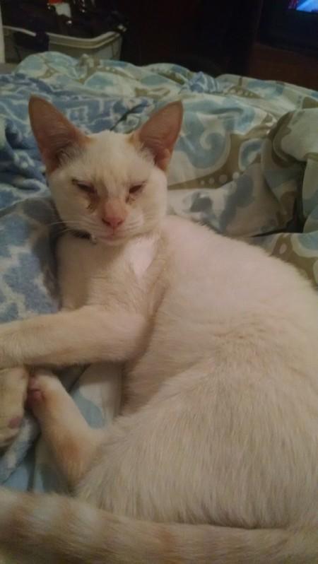 short hair creamy white cat