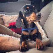 Dude (Miniature Dachshund)