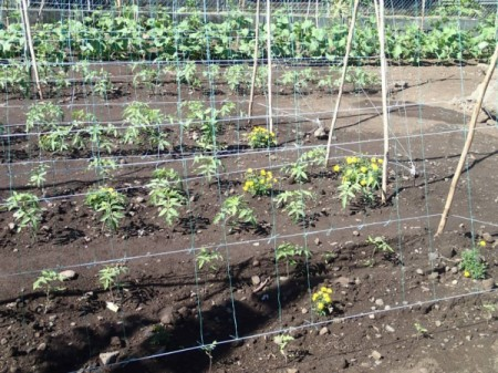 Easy Way To String Tomatoes, Cucumbers, or Green Beans