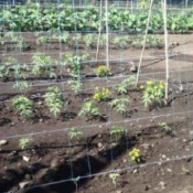 Tomato Plants planted with Marigolds