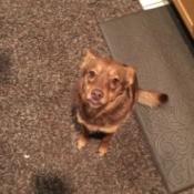 reddish dog on carpet runner