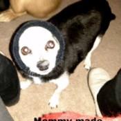 Pickles (Chihuahua Mix)